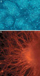 Human_embryonic_stem_cells