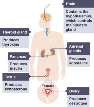 hormone-body